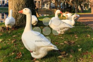 Goose in park at sunset - Popular Stock Photos
