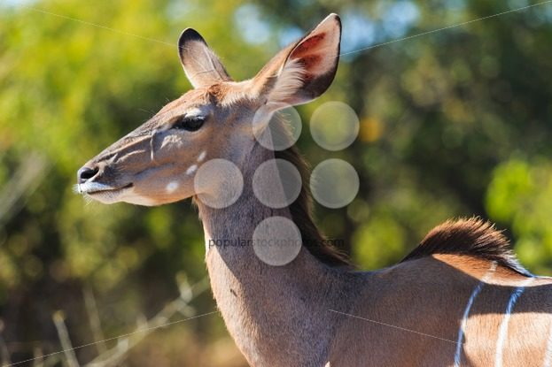 Greater kudu close up in Chobe Botswana Africa – Popular Stock Photos