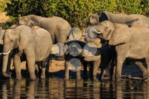 Group and baby elephant drinking Chobe Africa - Popular Stock Photos