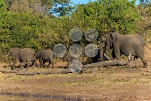 Group and baby elephant walking Chobe Botswana Africa - Popular Stock Photos