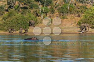Group elephants walking and drinking river hippo Africa - Popular Stock Photos