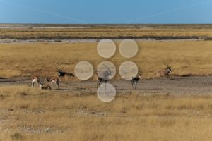 Group gemsbok or gemsbuck oryx and impala - Popular Stock Photos