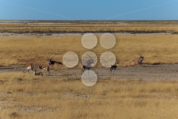 Group gemsbok or gemsbuck oryx and impala – Popular Stock Photos
