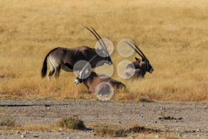 Group gemsbok or gemsbuck oryx standing field - Popular Stock Photos