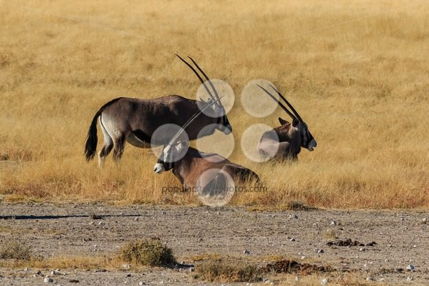 Group gemsbok or gemsbuck oryx standing field – Popular Stock Photos