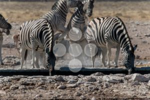 Group of zebras drinking and playing - Popular Stock Photos