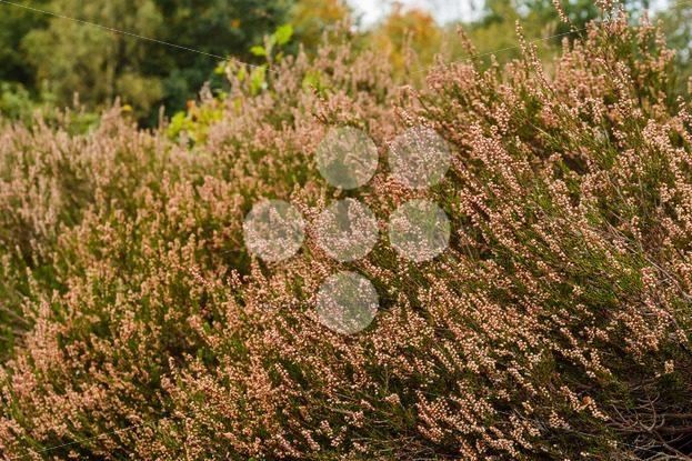 Heath in autumn sun after blooming – Popular Stock Photos