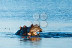 Hippo eating in river Chobe Botswana Africa - Popular Stock Photos