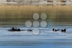Hippo eyes above water Botswana Moremi Africa - Popular Stock Photos