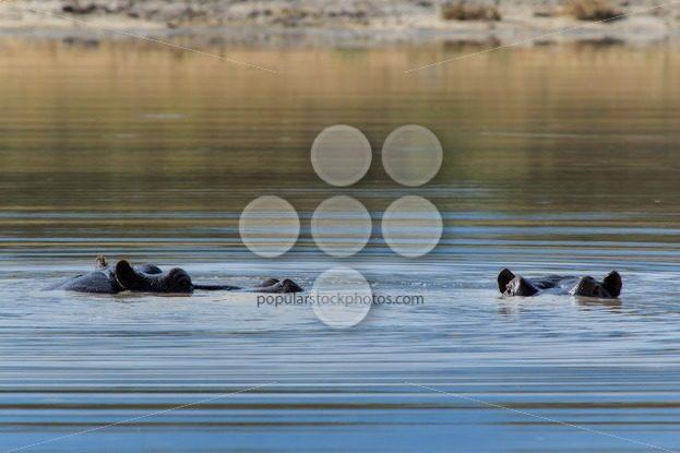Hippo eyes above water Botswana Moremi Africa – Popular Stock Photos