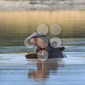 Hippo head above water Africa - Popular Stock Photos