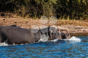 Hippos running into the water - Popular Stock Photos