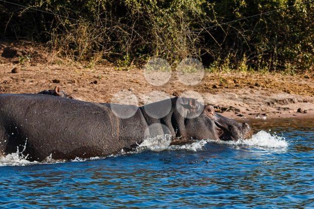 Hippos running into the water – Popular Stock Photos