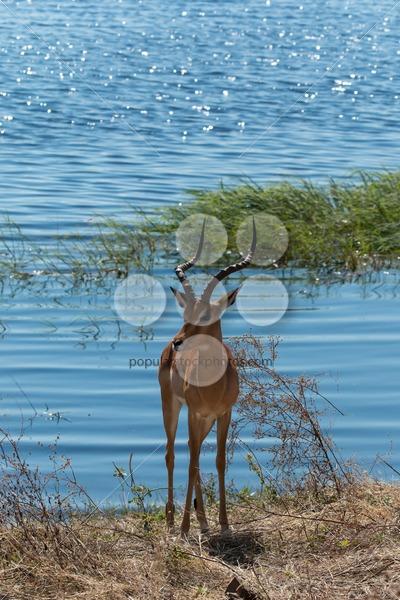 Impala standing on Chobe riverfront Botswana Africa – Popular Stock Photos