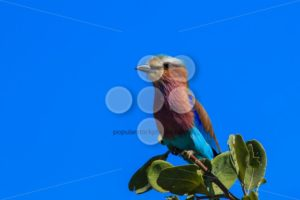 Lilac-breasted roller branch tree top - Popular Stock Photos