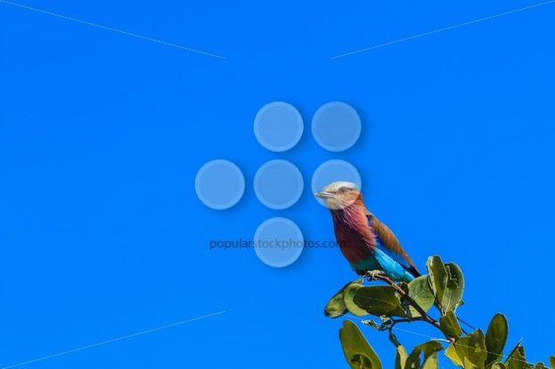 Lilac-breasted roller on a branch – Popular Stock Photos