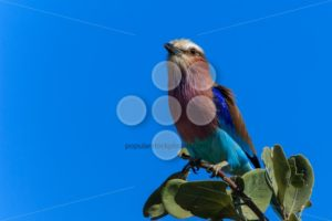 Lilac-breasted roller on a branch close up - Popular Stock Photos