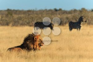 Lion licking his mouth, zebras background have no fear - Popular Stock Photos