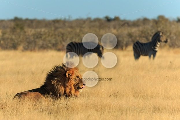 Lion licking his mouth, zebras background have no fear – Popular Stock Photos