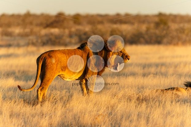 Lion male resting yawning after catch – Popular Stock Photos