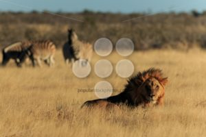 Lion resting - Popular Stock Photos