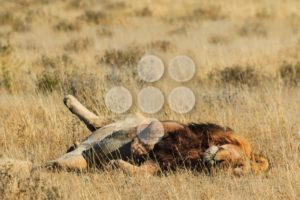 Lion rolling and resting - Popular Stock Photos