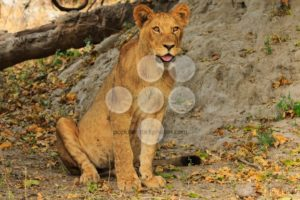 Lion sitting and watching - Popular Stock Photos