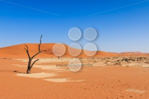 Lonely tree deadvlei valley Namibia - Popular Stock Photos