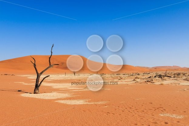 Lonely tree deadvlei valley Namibia – Popular Stock Photos