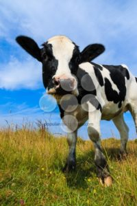 Lovely dairy cow standing in field - Popular Stock Photos