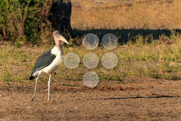 Marabou stork walking riverside Africa – Popular Stock Photos