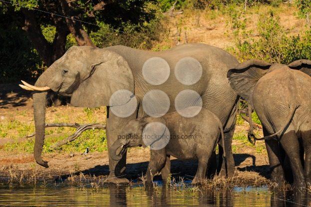 Mother and baby elephant drinking Chobe Botswana – Popular Stock Photos