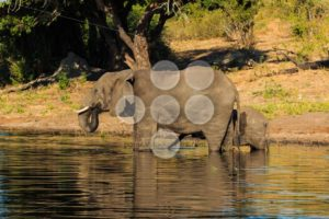 Mother and baby elephant drinking river Chobe - Popular Stock Photos