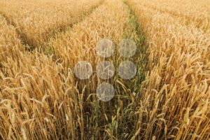 Multiple tracks grain field - Popular Stock Photos