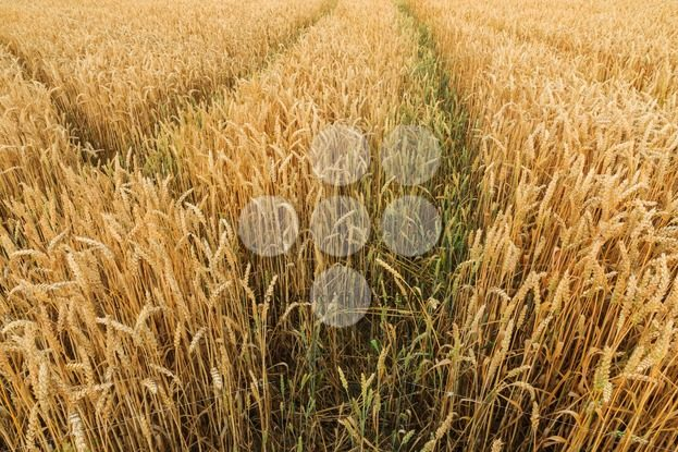Multiple tracks grain field – Popular Stock Photos