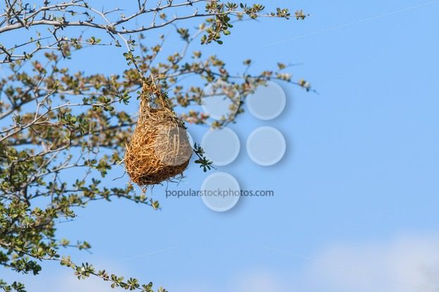 Nest weaver bird hanging on branch – Popular Stock Photos