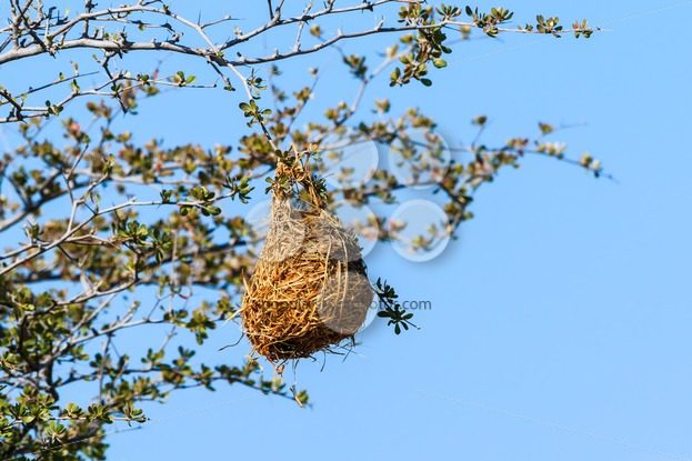 Nest weaver bird on branch – Popular Stock Photos