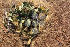 Old welwitschia in desert Namibia - Popular Stock Photos