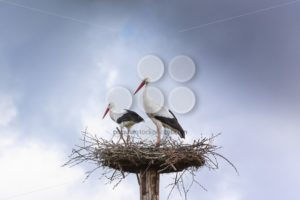 Pair white stork preparing nest - Popular Stock Photos