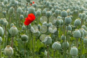 Papaver field single poppy flower - Popular Stock Photos