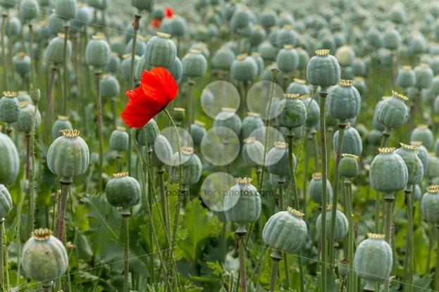 Papaver field single poppy flower – Popular Stock Photos
