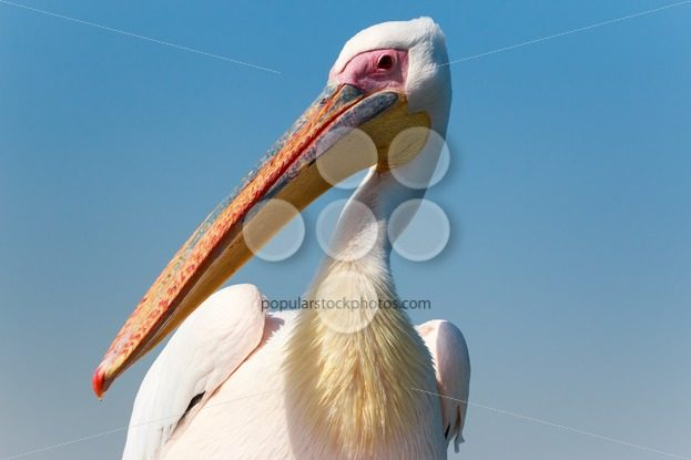 Pelican up close – Popular Stock Photos