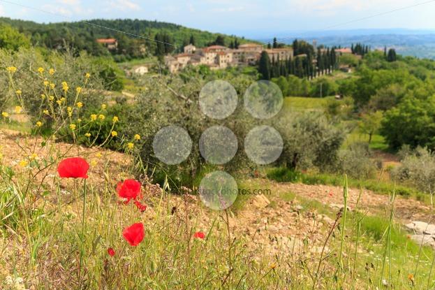 Poppy flower in Italian Tuscan landscape - Popular Stock Photos