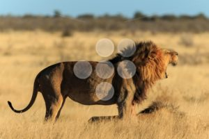 Roaring lion - Popular Stock Photos