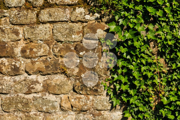 Rough wall with hedera plant - Popular Stock Photos