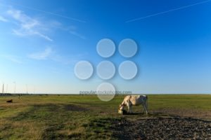 Scenic view cows near wadden sea noordpolderzijl - Popular Stock Photos