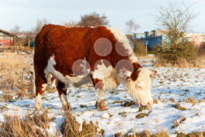 Scottish highland cattle grazing in park - Popular Stock Photos