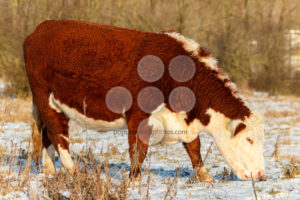Scottish highland cattle grazing in winter - Popular Stock Photos
