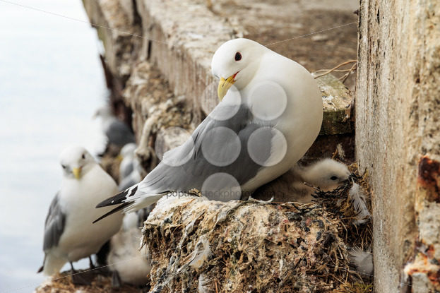 Seagull with young on nest – Popular Stock Photos