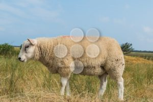 Sheep eating grass in summer - Popular Stock Photos